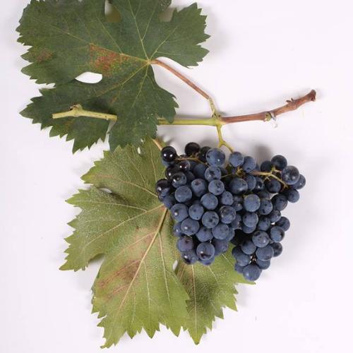 Georgischer Wein - 500 endemische Rebsorten