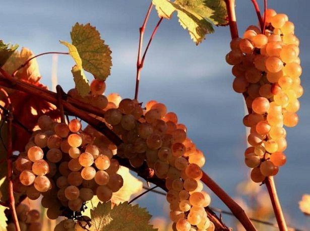 Georgischer Wein - mehr als 500 endemische Rebsorten - weiße Rebsorten