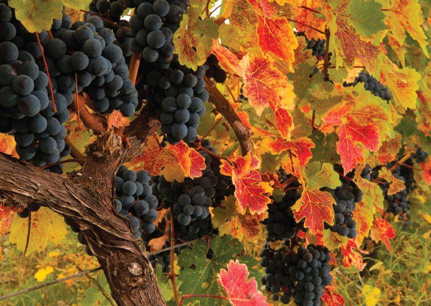 Geschichte des Weinbaus in Georgien - Weinberge - Weinreben