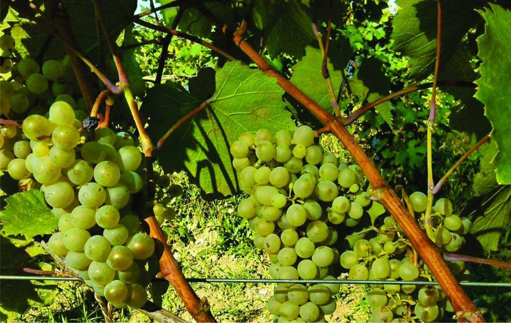 Georgischer Wein - 500 endemische Rebsorten - Rotwein - Weißwein