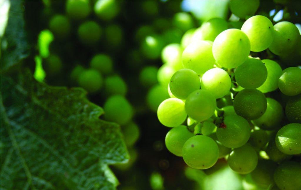 Georgischer Wein - mehr als 500 endemische Rebsorten - weiße Trauben