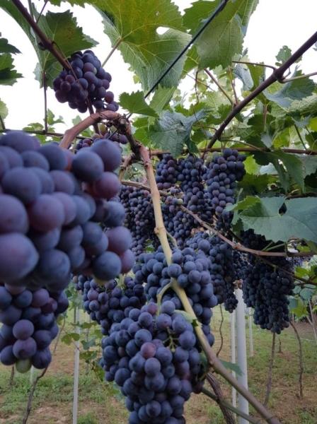 Rote Traubensorte Tawkweri