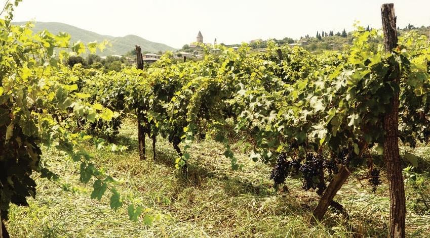 Geschichte des Weinbaus in Georgien - Weinberge - georgische Weinreben